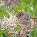 Ruby-crowned Kinglet (m)