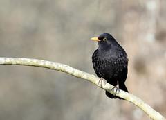 Merle noir (Guillaume Dardant) Tags: bird nature forêt oiseaux sauvage passereaux nikon turdusmerula bois loiret commonblackbird 500mmf4 d850 merlenoir affût passériformes turdidés