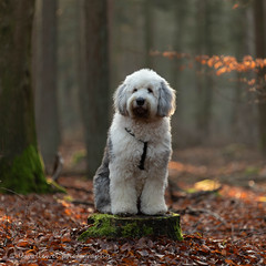 "Shane ""explore"" (dewollewei) Tags: shane oldenglishsheepdog oldenglishsheepdogs old english sheepdog sheepdogs dewollewei brwyn bobtail shaved oes explore explored exploreddogs sjaved cute white canon 5d4 markiv tamron 70200 wood tree stump"