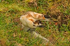 Snow Bunting (drbut) Tags: snowbunting plectrophenaxnivalis avian countryside preening blorenge wales bird birds wildlife nature