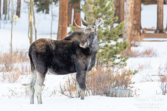 January 26, 2020 - A young bull moose in the snow. (Tony's Takes)