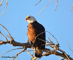 January 26, 2020 - Bald eagle in the early morning sun. (Ed Dalton)