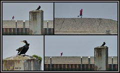 Die Deichläuferin und der Kormoran - The dike runner and the cormorant (antje whv) Tags: collagen kormoran cormorant deich dike kind child