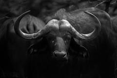 Cape Buffalo (Ben Locke.) Tags: capebuffalo buffalo wild wildlife nature africa southafrica