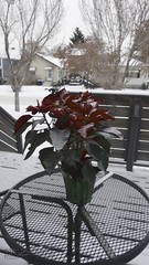 poinsettia, outside at -33c (zawaski -- Thank you for your visits & comments) Tags: beauty work love canada naturallight calgary lovepeace canon noflash 4hire serves zawaski©2020 silver ammolite rare alberta editing ammonite ambientlight leica