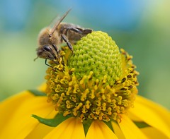 Just Nature (Lumen Candela) Tags: biene bee berlin