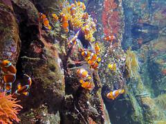 La fabrique à Clowns (François Tomasi) Tags: françoistomasi clowns clown poissons poisson fishs fish 2020 justedutalent yahoo google flickr