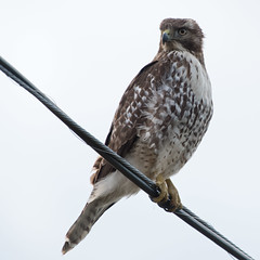 Red-tailed Hawk (nickinthegarden) Tags: redtailedhawk sumasprairie abbotsfordbccanada