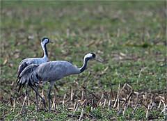 Grues cendrées (boblecram) Tags: grues cendrées bird oiseau grus migrateur sauvage wild ornithologie ornithology common crane gruiformes gruidés