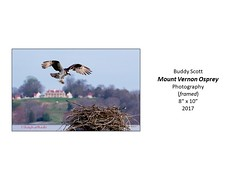"""Mount Vernon Osprey • <a style=""""font-size:0.8em;"""" href=""""http://www.flickr.com/photos/124378531@N04/49451256596/"""" target=""""_blank"""">View on Flickr</a>"""