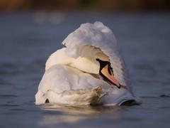 Mute Swan (PhotoLoonie) Tags: wildlife nature muteswan swan waterbird bird feathers preening