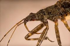2019-07-07 22-35-34 (C) (Ob it) Tags: wanze bug raubwanze assassin assassinbug