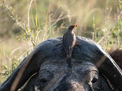 20190919_9190417-2.jpg (mavrogordato) Tags: birds kenyabirds kenya masaimara oxpecker capebuffalo