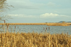 Reed beds on the River Tay (glimpsesofgardens) Tags: reedbeds