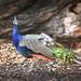 A pretty peacock-