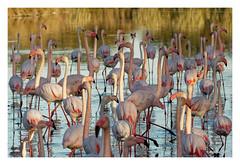 CAMARGUE....Flamingos (Babaou) Tags: frankreich france saintesmariesdelamer camargue parcornithologique pontdegau flamingo flamant luberon2019 100400mm eos760d oktober provencealpescôtedazur provence suedfrankreich