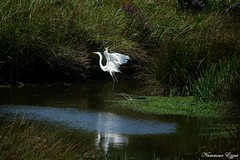 Grande aigrette  Ardea alba (Ezzo33) Tags: france gironde nouvelleaquitaine bordeaux ezzo33 nammour ezzat sony rx10m3 parc jardin oiseau oiseaux bird birds grandeaigrette ardeaalba