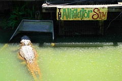 Intermission at the Alligator Show (Studio d'Xavier) Tags: werehere performanceart intermissionatthealligatorshow alligator louisiana green