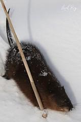 Rat musqué / Ondatra zibethicus / Muskrat (Laval Roy) Tags: ratmusqué ondatrazibethicus muskrat rongeurs cricétidés quebec mammals mammifères lavalroy comportement comtédelotbinière hiver saisonhivernale senourrissant