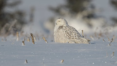 Snowy Owl 6525 (Paul McGoveran) Tags: bif bird birdinflight nature nikon500mmf4 nikond850 ontario owl snowyowl wings
