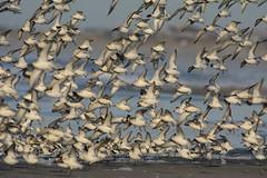 Arrival (v4vodka) Tags: bird birding birdwatching animal nature wildife sanderling biegus piaskowiec stint peep wader sandpiper calidrisalba 三趾鹬 newyork longisland shorebird