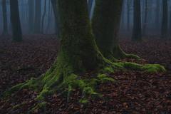A couple of trees (Pascal Riemann) Tags: stever deutschland nebel landschaft hullern pflanze baum wald natur fluss germany landscape nature outdoor river forest plant