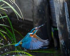 Kingfisher (shinichiro*@Hokkaido-until0217) Tags: 町田市 東京都 日本 20200106ds29415 2020 crazyshin nikonz6 z6 ftz sigma150600mmf563dgoshsmcontemporary january winter tokyo japan jp 薬師池公園 bird birds sspriority isoauto wmonopod bigfave 49453307528 9703526 202002esp