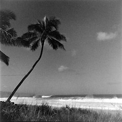Palm Tree at Banzai Pipeline (bac1967) Tags: ilford ilfordhp5 ilfordfilm 120film 120 twinlensreflex tlr monochrome monotone bw blackandwhite blackandwhitefilm blackwhite beerenol beerol beer beerfilmdeveloper oahu hawaii beach tropics tropical ricohdiacordl rikenonf358cmlens seikoshamx ricoh diacord rikenon seikosha mediumformat 6x6 film filmphotography filmdeveloping palmtree banzai pipelinepalmtreebanzai pipelinenorth shore northshore ehukaibeachpark ehukaibeach