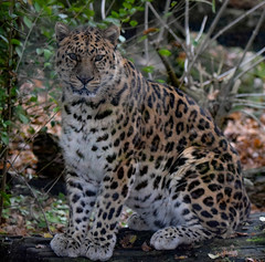 Kaia, Amur leopard.Marwell zoo. (_mark_1) Tags: kaia marwellzoo amurleopard bigcat endangeredspecies spots