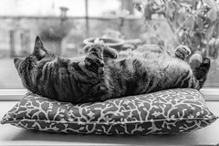 Tales from the windowsill...cat stretch yoga with a view. (Picture-Perfect Cats) Tags: marley tabby animals brown cat cute domestic domesticanimal domesticcat feline fur kitty lounging pet pillow relax sleeping whiskers windowsill catmoments