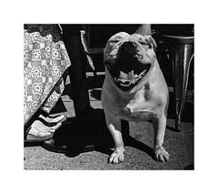 smile! Sydney 2015  #247 (lynnb's snaps) Tags: 2015 35mm d76 om1 bw dogs film fp4 portrait olympusom1 omzuiko35mmf2 ilfordfp4 street sydney australia smiling humour erwittmoments slr blackandwhite bianconegro biancoenero bianconero blancoynegro noiretblanc schwarzweis monochrome ishootfilm filmfilmforever filmneverdie