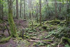 Fujikawaguchiko - Aokigahara (CATDvd) Tags: nikond7500 日本国 日本 stateofjapan nippon niponkoku nihonkoku nihon japón japó japan estatdeljapó estadodeljapón catdvd davidcomas httpwwwdavidcomasnet httpwwwflickrcomphotoscatdvd july2019 landscape paisaje paisatge bosc bosque forest cincllacsdelfuji cincolagosdelfuji fujifivelakes fujigoko 富士五湖 prefecturadeyamanashi yamanashiprefecture yamanashiken 山梨県 fujikawaguchiko fujikawaguchikomachi 富士河口湖町 aokigahara jukai mardarbres mardeárboles seaoftrees 樹海 青木ヶ原
