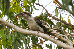 Laughing Kookaburra 26-01-2020 Brisbane (Annette_747) Tags: kookaburra australianbird bird canon nature wildlife