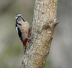 Pic épeiche (Guillaume Dardant) Tags: nature sauvage oiseaux bird forêt bois loiret d850 500mmf4 nikon picépeiche picidés piciformes dendrocoposmajor affût