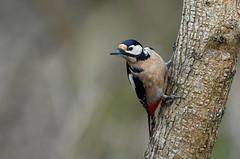 Pic épeiche (Guillaume Dardant) Tags: nature sauvage oiseaux bird picidés forêt bois loiret d850 500mmf4 nikon picépeiche piciformes dendrocoposmajor affût
