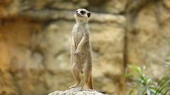 Suricata suricatta 狐獴 Meerkat (YoyoFreelance) Tags: suricata suricatta 狐獴 meerkat taipeizoo 臺北動物園