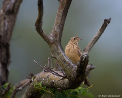 Rufous-naped Lark (leendert3) Tags: leonmolenaar southafrica krugernationalpark wildlife wilderness wildanimal nature naturereserve naturalhabitat bird rufusnapedlark