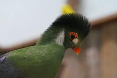 Elegant  Beauty (ivlys) Tags: dänemark denmark turako musophagidae vogel bird bunt colourful elegant schönheit beauty natur nature ivlys
