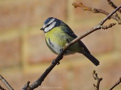 Blue Tit (Belinda Fewings (5 million views. Thank You)) Tags: pretty tiny out outdoor outside watching blue yellow gardenbird january winter beautiful little one nesting bluetit bird rspb nationalgeographicwildlife bbcspringwatch belindafewings sonydschx400v