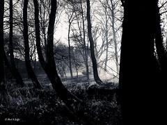 Winter copse (b/w) (mark.griffin52) Tags: olympusem5 england hertfordshire wilstone woodland blackandwhite winter mist trees countryside landscape copse