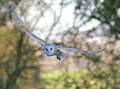 Barn Owl (KHR Images) Tags: barnowl barn owl tytoalba wild bird birdofprey hunting flying daylight cambridgeshire fens wildlife nature nikon d500 kevinrobson khrimages