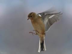 Chaffinch Landing (Kike K.) Tags: amateur bird animal canon fauna bif stork color blue azure sky light sunlight water river fish catching hiking walk fly flight feathers beak eye adriatic adria sea mediterranean nature natural wild wings outdoor air freedom clear 80d speed flying lake white black meal dinner eat sparrow autumn morning fence wire redstart red orange yellow grey bokeh gimp forest pond drop hawfinch window garden rain canon70200f4l chaffinch january hover 2020 feeder