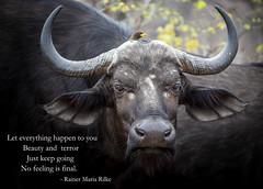 Let everything happen to you (Sheldrickfalls) Tags: rainermariarilke leteverythinghappentoyou jojorabbit buffalo buffel yellowbilledoxpecker buphagusafricanus krugernationalpark kruger krugerpark mpumalanga southafrica