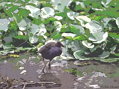 Swamphen edited with Filter Forge 3 (ozbuglady) Tags: waterbird pondlife bird filter artistic painterly