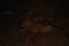 Lion Pride in the Dark (Rckr88) Tags: krugernationalpark southafrica kruger national park south africa lion pride dark lionprideinthedark lions lioness bigcat nature naturalworld outdoors travel travelling night nights