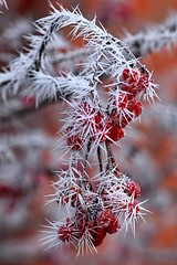 red jewel (Slávka K) Tags: winter red macro icing bokeh january 2020 natur color wintertime myday frost frozen snow