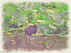 Swamphen edited with Filter Forge (ozbuglady) Tags: waterbird pondlife bird filter artistic painterly
