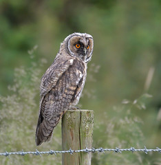 Long-eared Owl (KHR Images) Tags: longearedowl long eared owl asiootus juvenile owlet wild bird birdofprey perched cambridgeshire fens wildlife nature nikon d500 kevinrobson khrimages