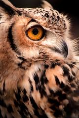 Owl Close Up 3-0 F LR 11-10-19 J127 (sunspotimages) Tags: animal animals bird birds owl owls greathornedowl greathornedowls nature wildlife