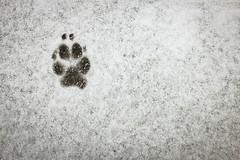 Paw Print (dangaken) Tags: snow winter weather white michigan puremichigan northernmichigan michiganwinter fuji fujifilm fujinon 23mm prime primelens fujifilmx100t fujix100t x100t fujix100 fujifilmx100 dog doggo pupper wrigley paw pawprint pet mansbestfriend